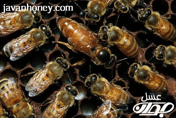 جمعيت زنبورعسل نر