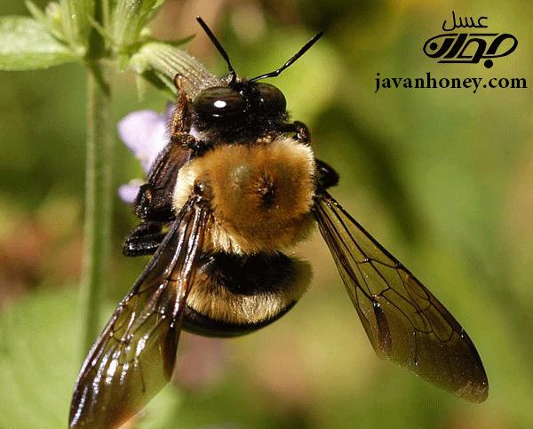 زنبوردرماني