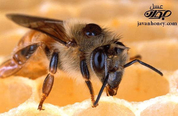 زهر زنبور عسل