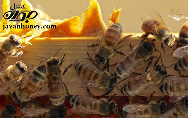 نظم زندگي زنبورعسل