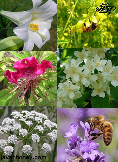 انواع گياهان عسل زا