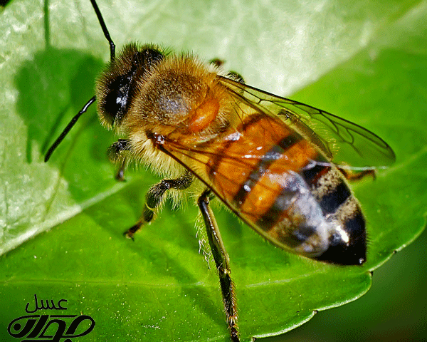 مغز زنبور عسل