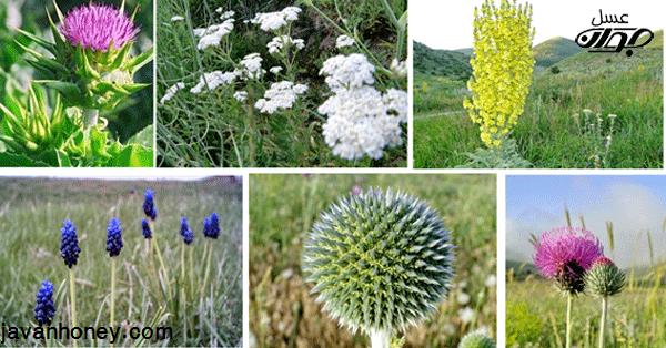 انواع گیاهان عسل زا
